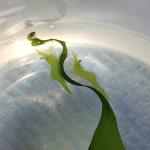Chameleon prawn